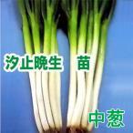 野菜の苗 汐止晩生 ねぎ ネギ・葱 苗 50本/束