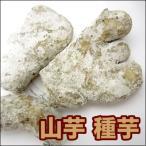 野菜・種/苗 ヤマイモ / 別名:いちょうイモ・大和イモ・手イモ 種芋・生もの種 500g[約10個前後]