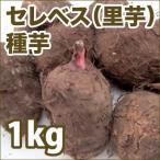 野菜・種/苗 セレベス/里芋 種芋・生もの種 量り売り1kg