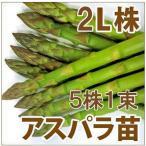 野菜の苗 ウェルカム アスパラガス苗・アスパラ苗 L株/素掘り株 5株1束