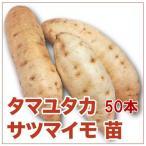 野菜の苗 タマユタカ/玉豊・サツマイモ 苗 50本入り(4月下旬より順次発送)