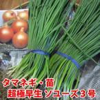 野菜の苗 超極早生 ソユーズ3号・タマネギ 玉葱 玉ねぎ  100本入