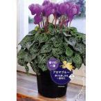 ショッピング苗 数量限定!送料無料 花の苗 セレナーディア アロマブルー 5号花鉢/1ポット サントリー