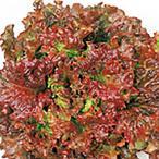 野菜の種/種子 レッドウェーブ サニーレタス ペレット5000粒(大袋)サカタのタネ