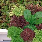 野菜の種/種子 ガーデンレタスミックス サニーレタス 20ml(メール便発送)サカタのタネ 種苗