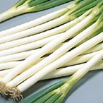 野菜の種/種子 夏扇3号 ねぎ ペレット6000粒(大袋)サカタのタネ