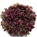野菜の種/種子 レッドファルダー・リーフレタス 130粒(メール便可能)タキイ種苗