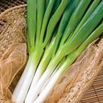 野菜の種/種子 ふゆわらべ・根深ねぎ 1dl缶 タキイ種苗