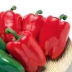 野菜の種/種子 フルーピーレッドEX・カラー ピーマン 500粒(メール便可能)タキイ種苗
