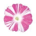 花の種(営利用)アサガオ 朝顔 暁の舞 1000粒 プライマックス種子 サカタのタネ 種苗