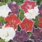 花の種(営利用)アサガオ 朝顔 紫獅子 1000粒 プライマックス種子 サカタのタネ
