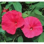 花の種(営利用)アサガオ 朝顔 スカーレットオハラ 1000粒 プライマックス種子 サカタのタネ 種苗(メール便発送)