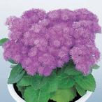 花の種(営利用)アゲラタム カッコウアザミ ブルー ハワイ 1000粒 ペレット種子 サカタのタネ