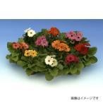 花の種(営利用)ガーベラ カメレオ ミックス 100粒 コート種子 サカタのタネ 種苗(メール便発送)