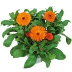 花の種(営利用)カレンジュラ キンセンカ シトラス オレンジ 1dl サカタのタネ