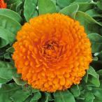 花の種(営利用)カレンジュラ キンセンカ シトラス クリアオレンジ 1dl サカタのタネ