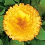 花の種(営利用)カレンジュラ キンセンカ シトラス クリアサーモン 1dl サカタのタネ