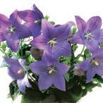 花の種(営利用)キキョウ 桔梗 アストラ ブルー 1000粒 サカタのタネ