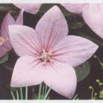 花の種(営利用)キキョウ 桔梗 アストラ ピンク 1000粒 サカタのタネ