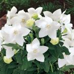 花の種(営利用)キキョウ 桔梗 アストラ ホワイト 1000粒 サカタのタネ
