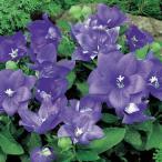 花の種(営利用)キキョウ 桔梗 アストラ セミダブル ブルー 1000粒 サカタのタネ