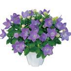花の種(営利用)キキョウ 桔梗 センチメンタル ブルー 1ml サカタのタネ