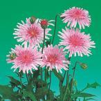 花の種(営利用)クレピス クレピス ピンク 10ml サカタのタネ