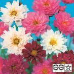 花の種(営利用)コスモス ダブルクリック ミックス 1dl サカタのタネ 種苗(メール便発送)