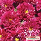 花の種(営利用)コスモス ダブルクリック クランベリー 1000粒 サカタのタネ 種苗(メール便発送)