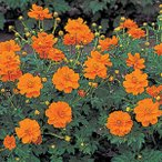 花の種(営利用)コスモス ロード オレンジ 1dl サカタのタネ 種苗(メール便発送)