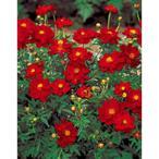 花の種(営利用)コスモス ロード スカーレット 1dl サカタのタネ 種苗(メール便発送)