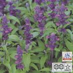 花の種(営利用)サルビア エボリューション バイオレット 1000粒 サカタのタネ