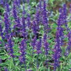 花の種(営利用)サルビア ビクトリア ブルー 10ml サカタのタネ