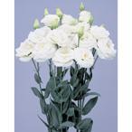 花の種(営利用)トルコギキョウ ユーストマ、リシアンサス ロジーナ(R)(3型)ホワイト 3000粒 ペレット種子 サカタのタネ 種苗(メール便発送)