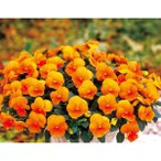 花の種(営利用)パンジー 三色スミレ よく咲くスミレ マーマレード(ver.2)500粒 プライマックス種子 サカタのタネ