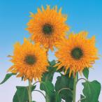 花の種(営利用)ヒマワリ マティスのひまわり 1000粒 サカタのタネ 種苗(メール便発送)