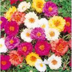 花の種(営利用)マツバボタン ポーチュラカ ソーラーキッズ 特選混合 1ml サカタのタネ