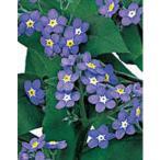 花の種(営利用)ワスレナグサ ブルームッツ 2ml サカタのタネ