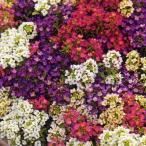 花の種(営利用)アリッサム アフロダイテ ミックス 10ml タキイ種苗