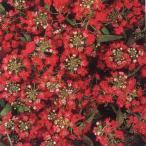 花の種(営利用)アリッサム イースターボネット ディープローズ 10ml タキイ種苗