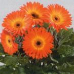 花の種(営利用)ガーベラ F1フロリライン ミディ ファイヤーポール 500粒 タキイ種苗(メール便発送)