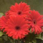 花の種(営利用)ガーベラ F1ロイヤル レッド 500粒 タキイ種苗(メール便発送)