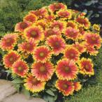 花の種(営利用)ガイラルディア アリゾナ サン 1000粒 タキイ種苗