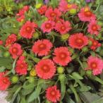花の種(営利用)ガイラルディア アリゾナ レッドシェード 1000粒 タキイ種苗