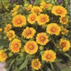 花の種(営利用)ガイラルディア アリゾナ アプリコット 1000粒 タキイ種苗