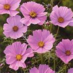 花の種(営利用)コスモス 高性種 センセーション ピンキー 1l タキイ種苗
