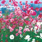 花の種(営利用)コスモス 高性種 秋咲き巨大輪 混合 1l タキイ種苗