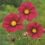花の種(営利用)コスモス 高性種 レッド ベルサイユ 1l タキイ種苗