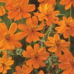 花の種(営利用)コスモス 矮性種 オレンジ フレア 1l タキイ種苗