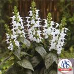 花の種(営利用) サルビア コクシネア種 ユキプルコ 1ml タキイ種苗